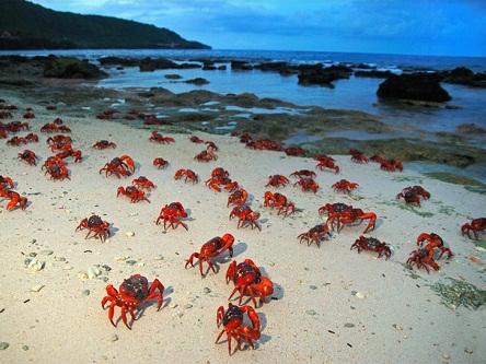 Cuộc di cư của đàn cua trên đảo Christmas