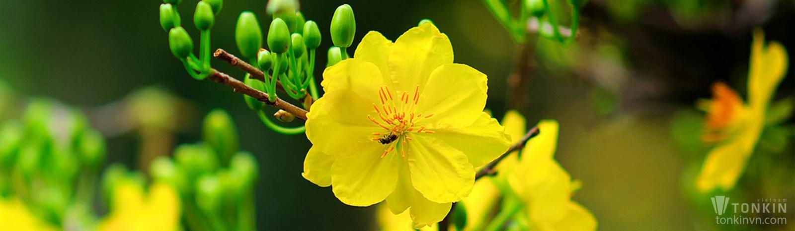 Hoa mai ngày tết