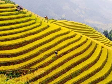 Ngắm cánh đồng lúa chín & Hoa tam giác mạch tuyệt đẹp trên đèo Khau Phạ
